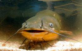 African catfish pictures - photo#18