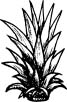 Ideal Spacing Required in Planting Pineapples